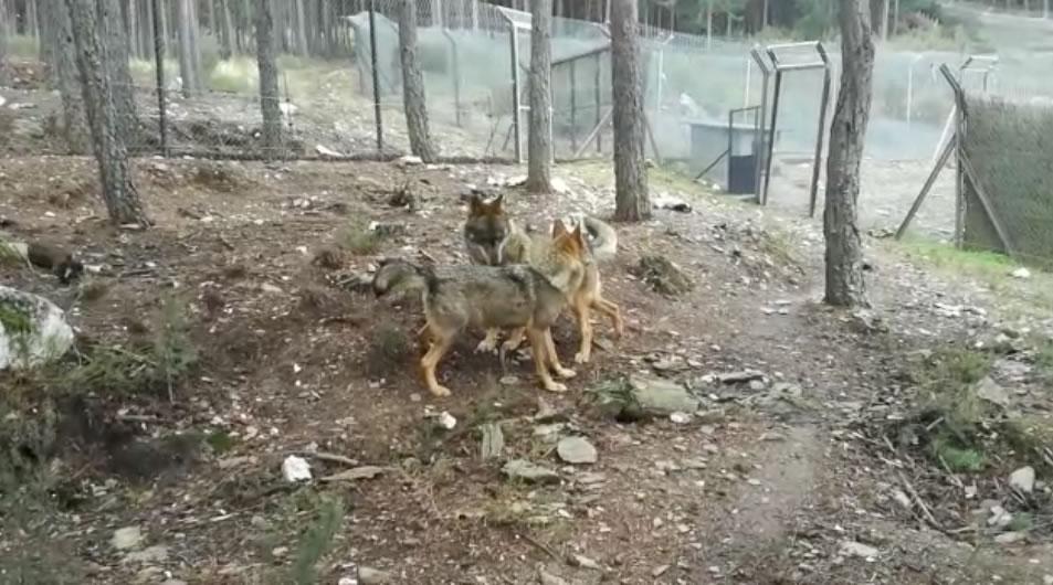 Empiezan los primeros indicios del celo en el Centro del Lobo Ibérico de CyL Félix Rodríguez de la Fuente