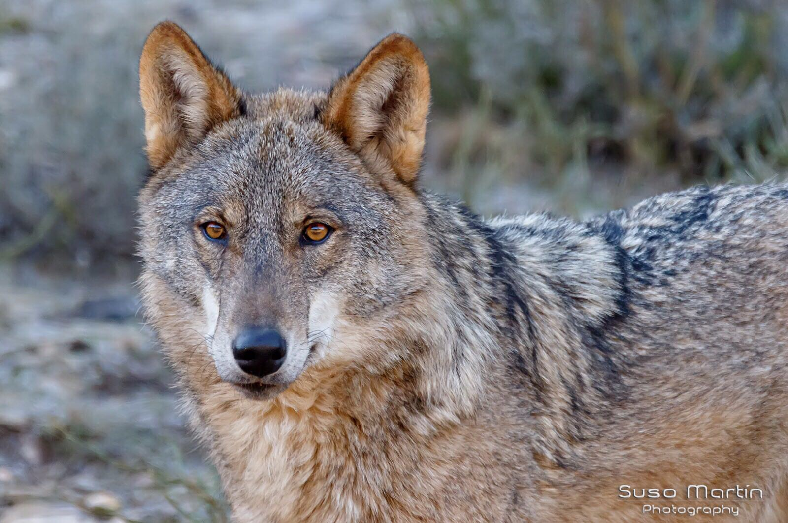 El Lobo III (Autor: Suso Martín)