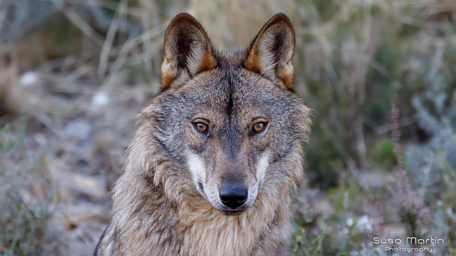 El Lobo I (Autor: Suso Martín)