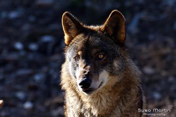 El Lobo II (Autor: Suso Martín)