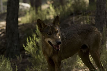 Lobos del Centro